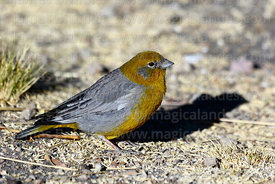 Adult male bright-rumped yellow finch (Sicalis uropygialis)