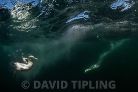 Northern Gannets Morus Bassanus diving for Mackerel off Shetland June