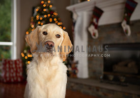 Lifestyle image of yellow lab puppy in front of Christmas tree