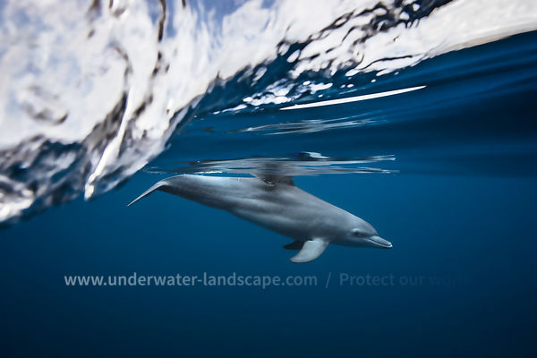 Dolphin Tursiops Aduncus - Lagoon of Mayotte