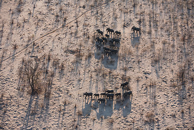 Aerial view of African elephant herd (Loxodonta africana) traveling through parched landscape during drought conditions, Nort...
