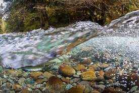 Pink Salmon on Their Spawning Grounds in the Dungeness River in Olympic National Forest