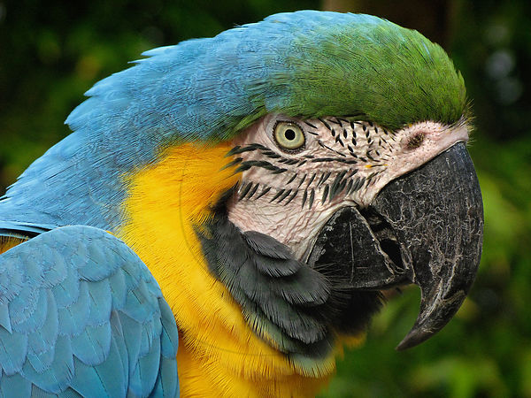 Ara bleu - Blue-and-yellow macaw (Ara ararauna)
