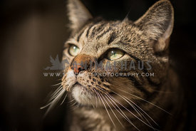 domestic shorthaired tabby cat sitting indoors looking out