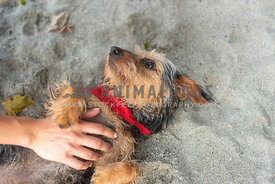 small dog on his back in the sand being pet on the stomach