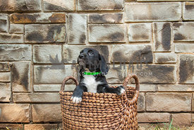 puppy standing in basket