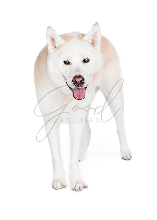 Akita Dog Standing Over White Background