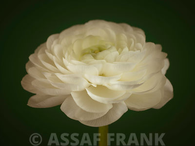 White ranunculus flower close-up