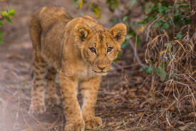 The Surprised Lion Cub  Zimbabwe 2017  Photographer Neil Emmerson  Edition of 25