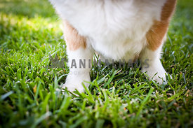 Close up of Corgi legs on grass