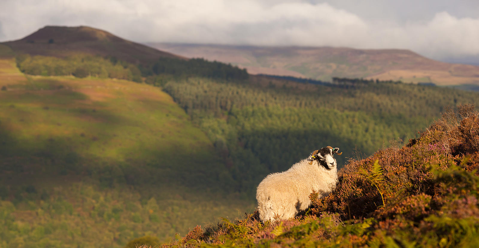 Sheep on Bamford Edge