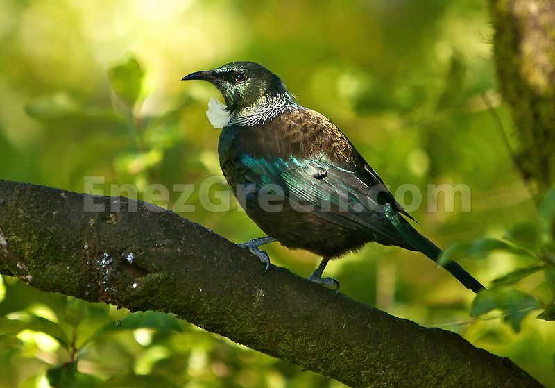 Tui endemic New-Zealand species