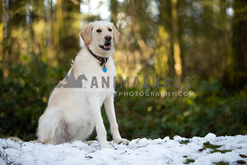 Large yellow lab dog sitting in the forest in snow