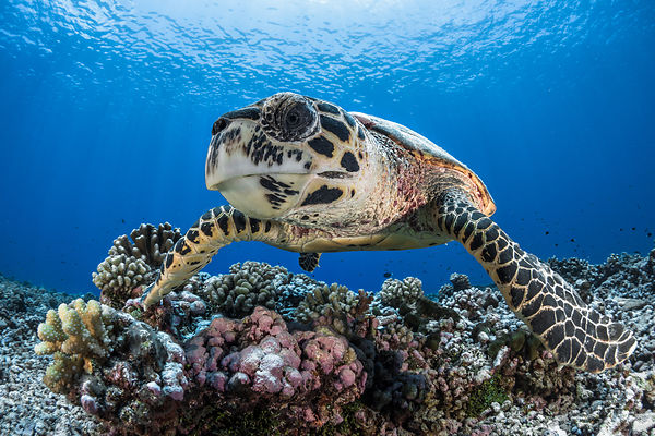 Turtle, French Polynesia, Rangiroa