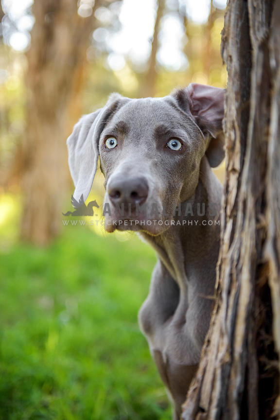 Animalhaus Media | Weimaraner with funny ear peeking out from behind
