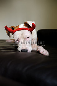 Naughty red and white pit bull wearing devil horns and looking guilty