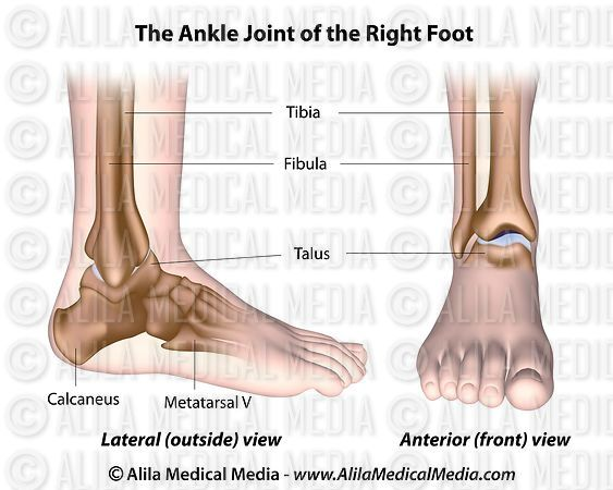 Ankle joint labeled diagram.