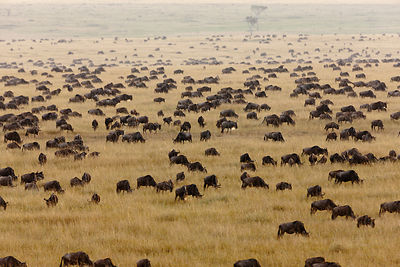 Wildebeest (Connochaetes taurinus) migrating herds, Masai-Mara Game Reserve, Kenya