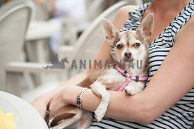 caucasian woman in a black and white striped sleeveless shirt holding a chihuahua in a pink harness