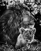 07122-Lion_cub_and_father_under_the_acacia_tree_Tanzania_2018_Laurent_Baheux