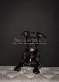 Young black puppy on black background in studio with paws up on bench