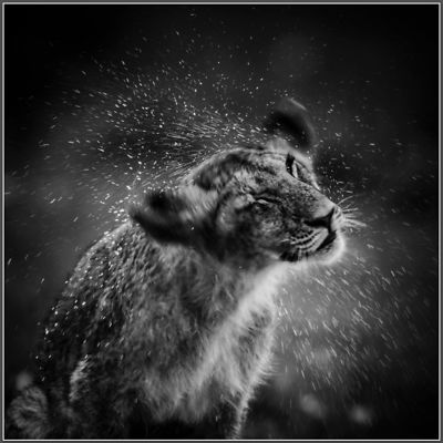 4692-Lion-Cub_after_the_nap_Kenya_2006_Laurent_Baheux