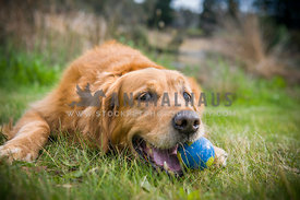 Golden Retriever lying down chewing ball