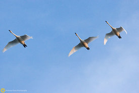 Tundra Swans in Flight #4
