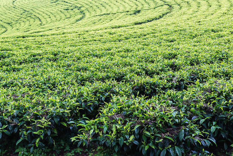 Tea Plants at the Wush Wush Tea Plantation
