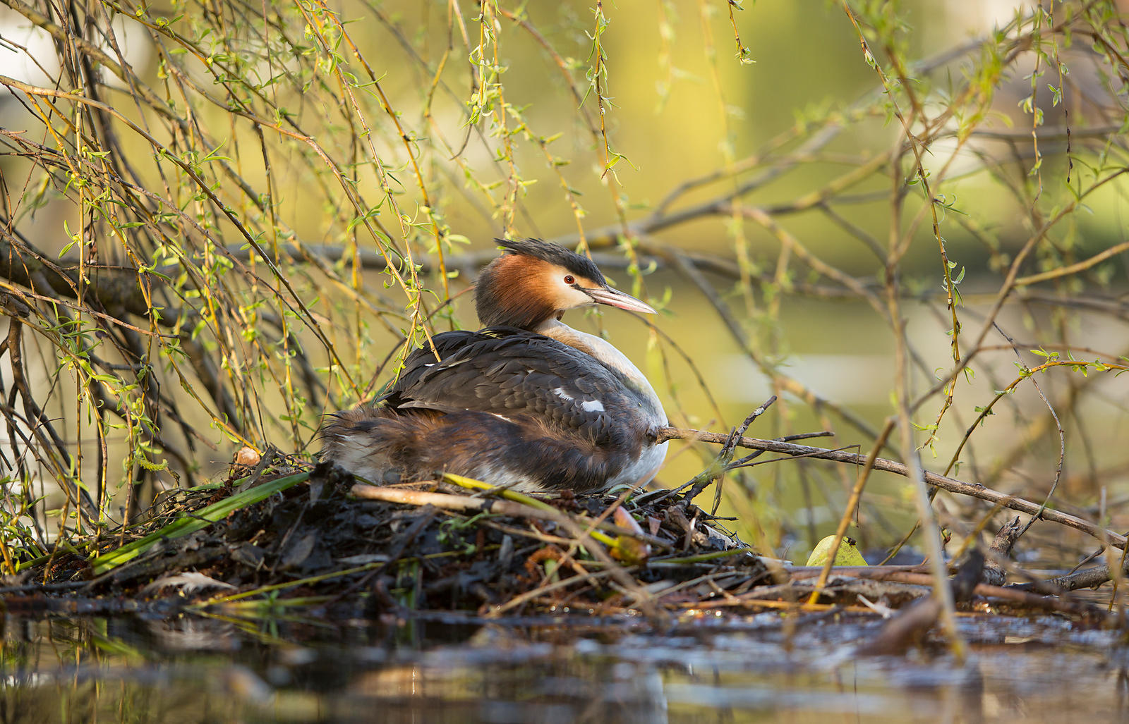 Grebe on the Nest, Yorkshire