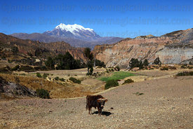 Bull, Palca Canyon and Mt Illimani, Cordillera Real, Bolivia