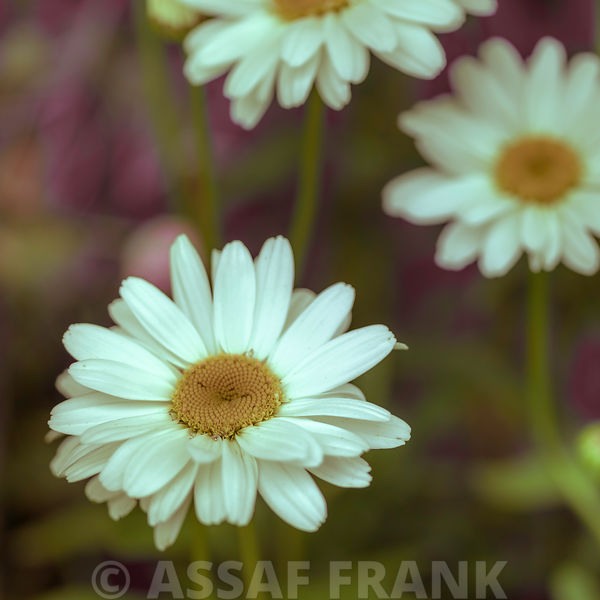 White Daises flowers