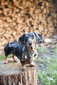 dachshund on top of stump in front of firewood