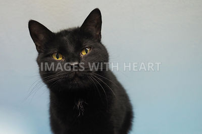 midnight black kitten blue background IWH2