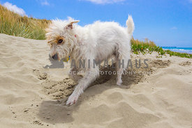 jack russell digging in the sand