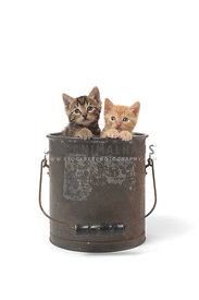 Two kittens in bucket on white background