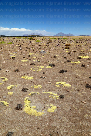 Sparse vegetation in desert, Las Vicuñas National Reserve, Region XV, Chile