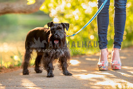 schnauzer on leash with mom in colorful high wedge shoes