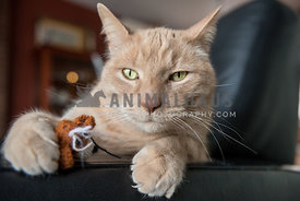 Cat with catnip toy in chair staring towards camera