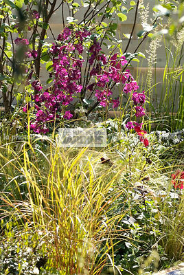 Association de vivaces : Penstemon spp, Anemanthele lessoniana (graminée), Paysagiste : Peter Reader, Hampton Court, Angleterre