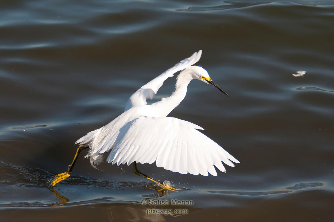 Snowy Egret in water