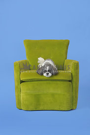 Shih Tzu  lying on large green chair with blue background
