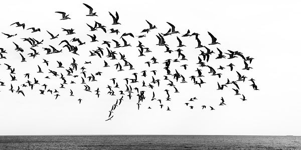A flock of black skimmers rise over the Atlantic at Cape May, New Jersey | Abstract black and white photo