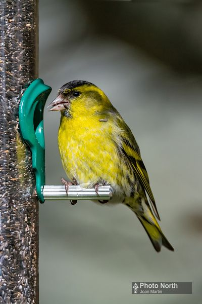 SISKIN 00A - Siskin on feeder