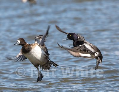 Scaup_in_flight-Ducks_at_Cambridge_MD-March_04_2017-47-March_04_2017
