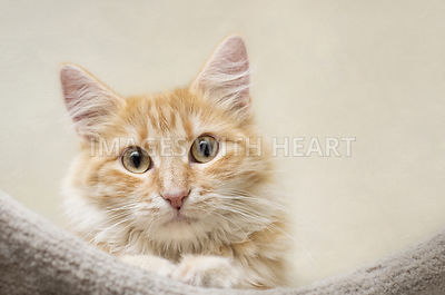 Head shot of a long haired orange tabby looking at camera