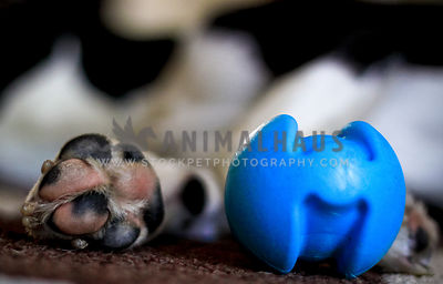 upclose dog paw next to blue toy ball
