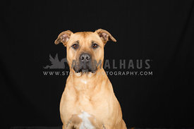 large bull breed emotive dog portrait on black background