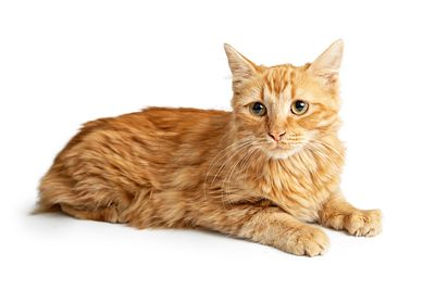 Orange Tabby Cat Laying Side on White