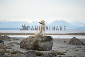 One labradoodle dog alone on a rock at the beach with mountains in the background